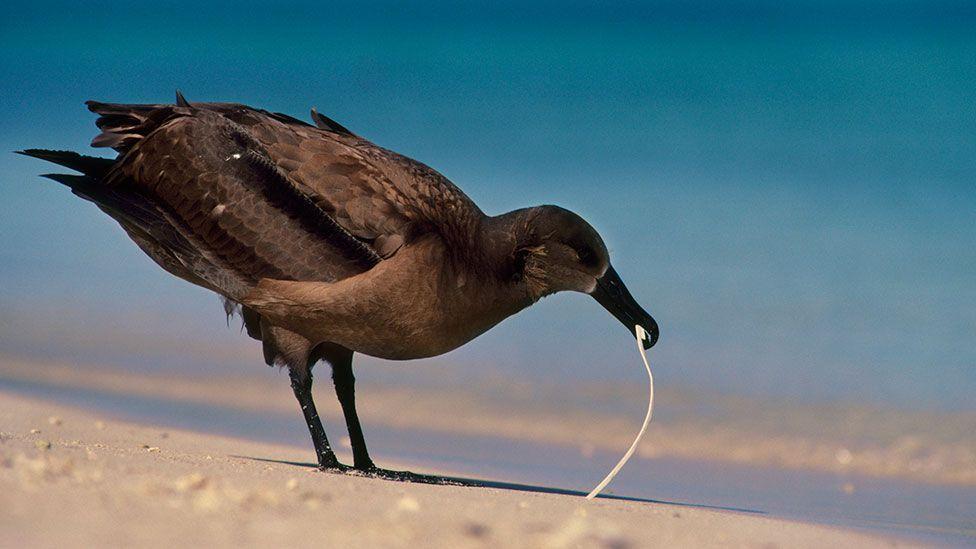A black-footed albatross pecks at plastic on a Hawaii beach (SPL)