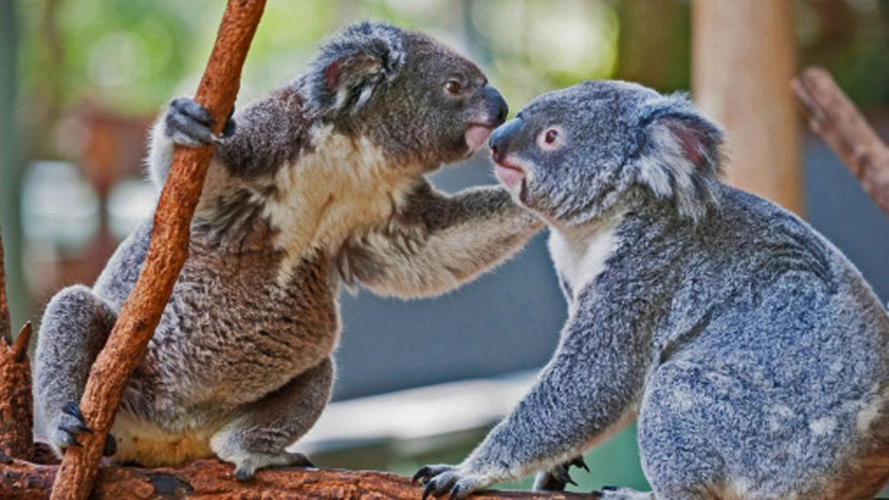 At the Lone Pine Koala Sanctuary visitors can cuddle a koala. (Marco Simoni/Getty Images)