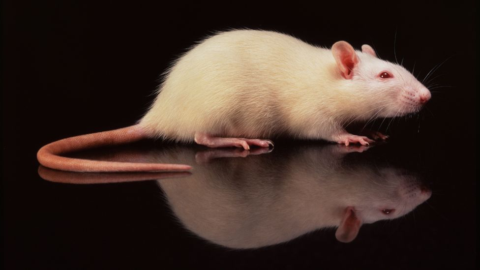 The caudate was involved when rats considered whether to press a lever in lab tests (SPL)