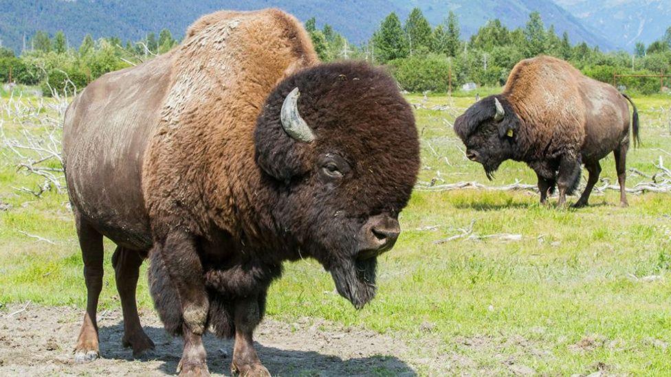 wood bison Alaska Wildlife Conservation Center Girdwood