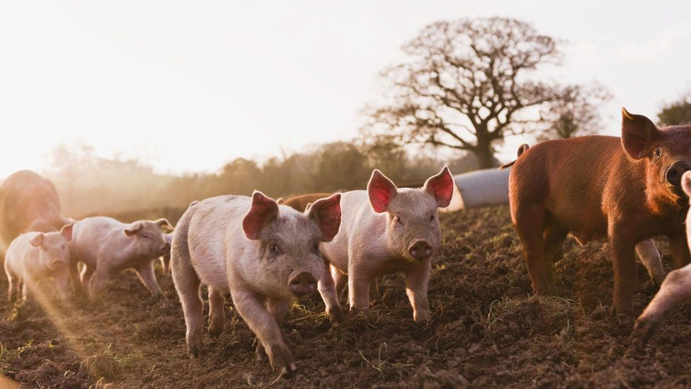Genetic modifications could protect pigs from potentially fatal diseases (Thinkstock)