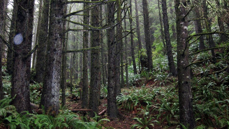 The woods in Ecola State Park. (Credit: David G Allan)