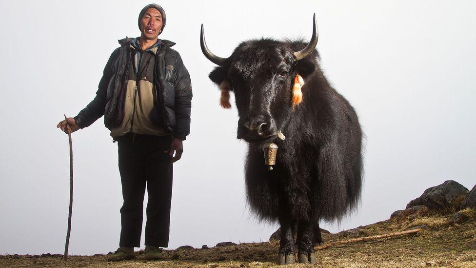 Nepal, hiking trails, trekking, teahouses, yaks, Himalayas, shepherds