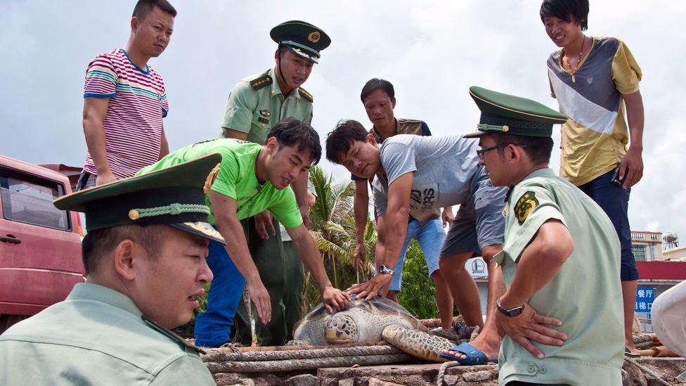 Preparing the green turtle for release (Credit: Amanda Ruggeri)
