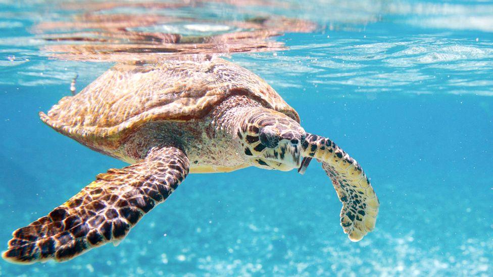 Saving the hawksbill turtle in China (Credit: Thinkstock)