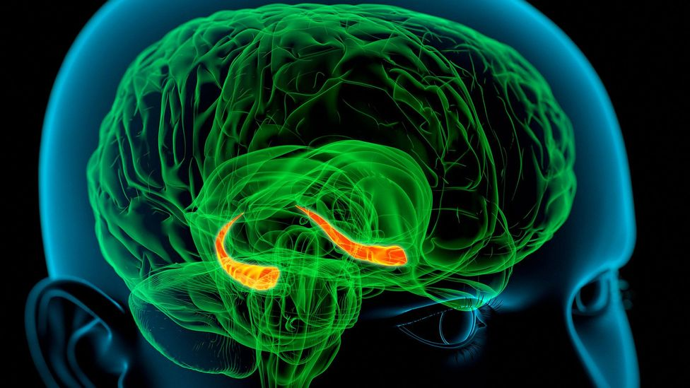The hippocampi, seen here in red, are crucial for memory processing (Credit: Science Photo Library)