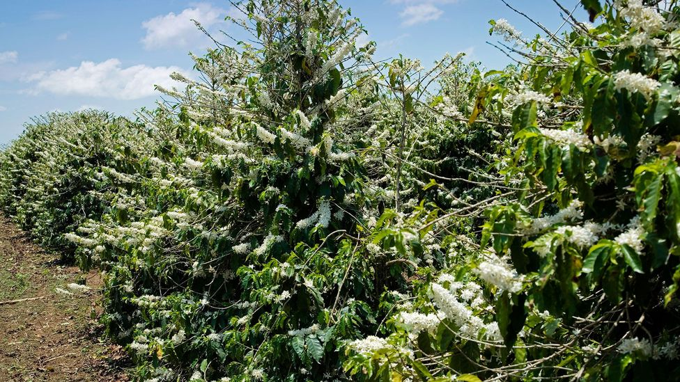 A whole year's coffee harvest can depend on just a few days of blossom, during which the plants are vulnerable to the extreme weather (Credit: Science Photo Library)