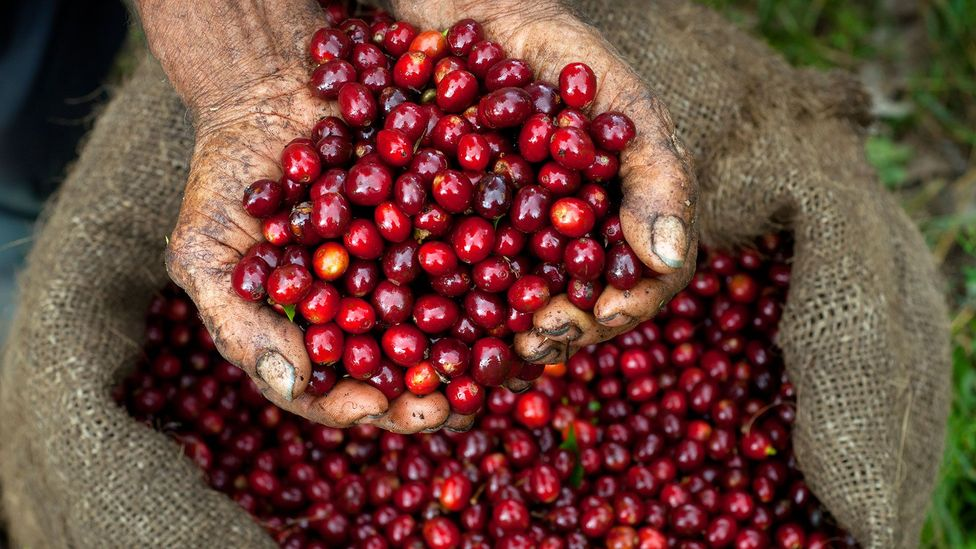 The livelihood of 25 million people may depend on scientists finding a way to protect vulnerable coffee plants and their ripening berries (Credit: Getty Images)