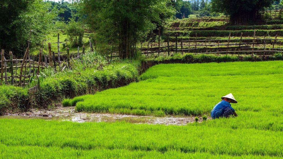 The adjoining rice fields (Credit: Jarryd Salem)