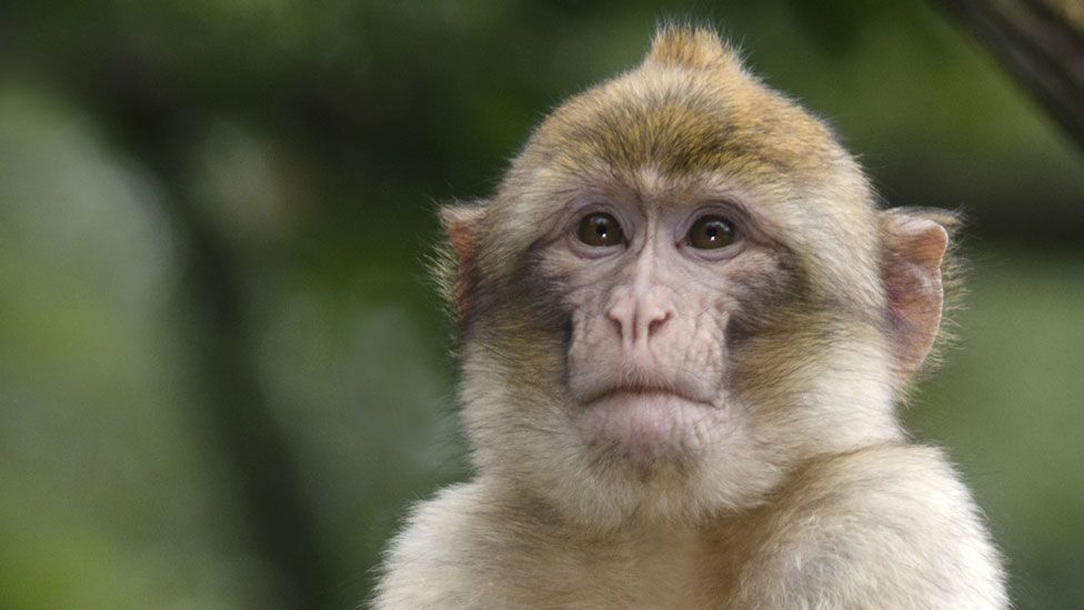A macaque: concentrating or just staring into the distance? (Credit: SPL)