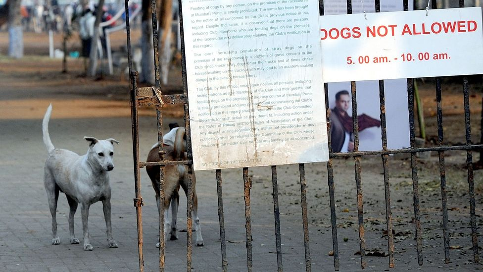 Culling dogs is not allowed in India – so authorities rely on catching, sterilising and releasing strays to stem the spread of rabies (Credit: Indranil Mukherjee/Getty Images)