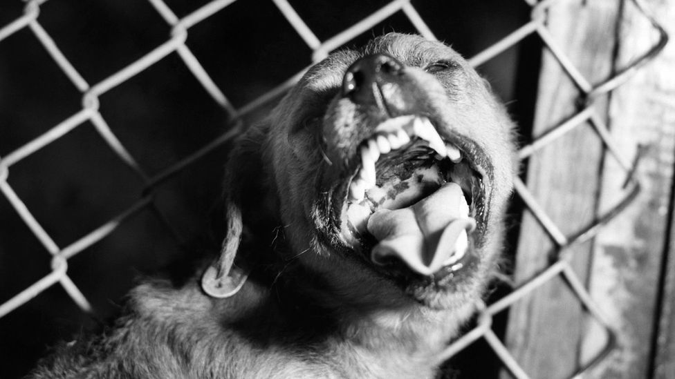 Dogs which exhibit restless and aggressive behaviour could be infected with rabies (Credit: Science Photo Library)