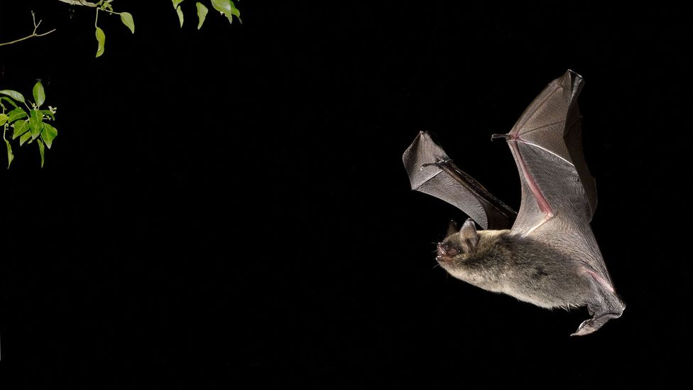 Brandt's bats live five times as long as other, closely related species (Credit: Alamy)