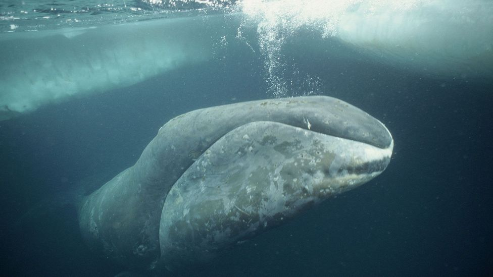 Given their size, bowhead whales should all develop cancer before they reach adulthood - yet they can live for two centuries  (Credit: Alamy)