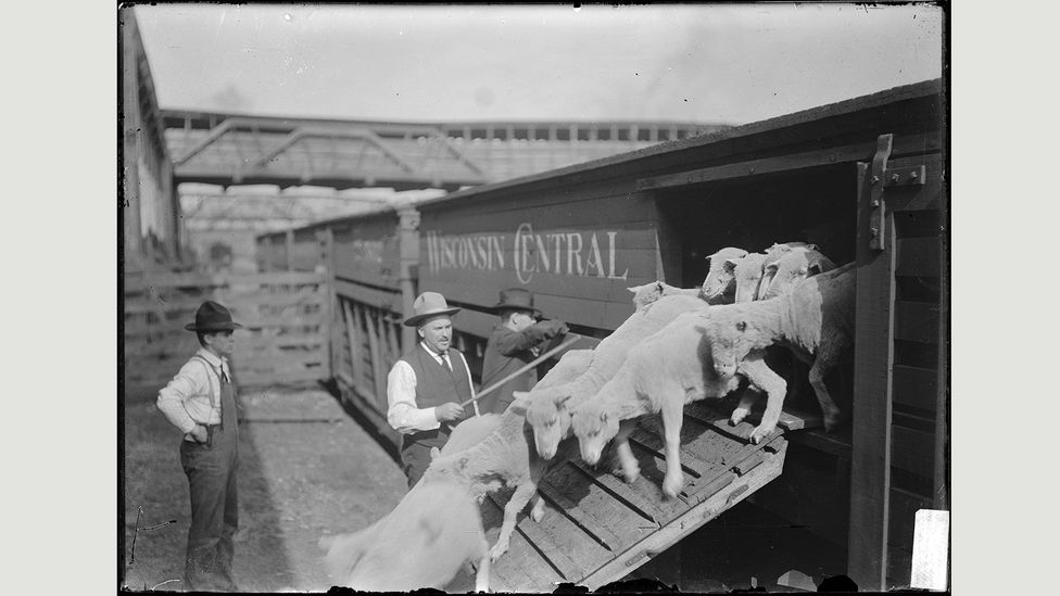 At the turn of the 20th Century, the Union Stockyards were the cornerstone of the city's economy, employing more than 25,000 people (Credit: Chicago History Museum/Getty Images)