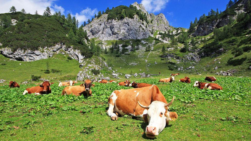 Cows graze in mountain pastures in the Julian Alps (Credit: Jezer Mojca Odar)