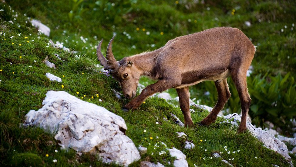 A mountain ibex feeds on green grasses in Triglav National Park (Credit: Nature Picture Library/Alamy)