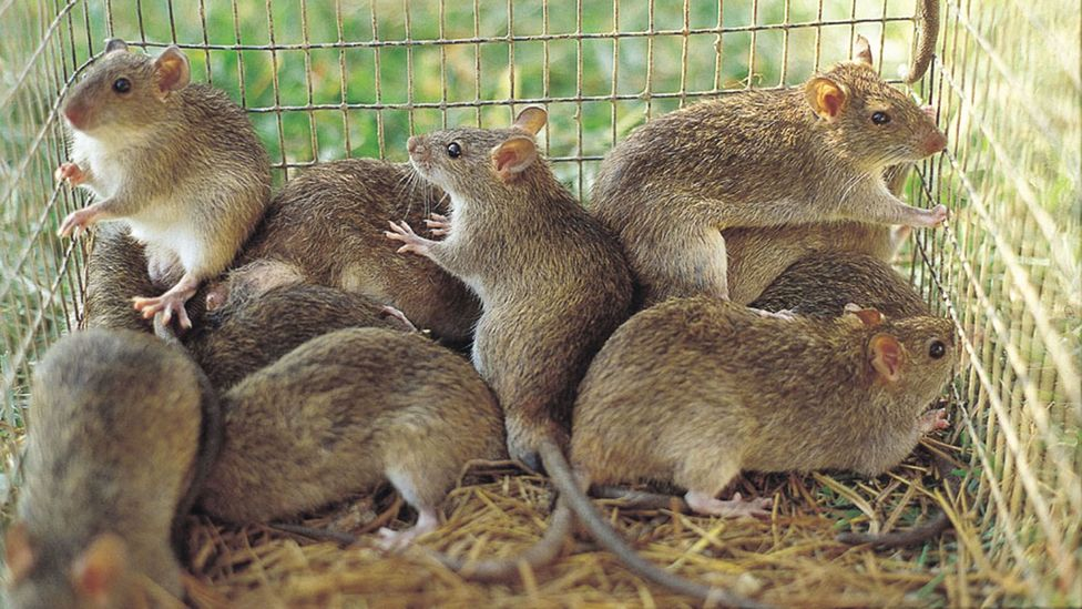 The lesser cane rat can weigh more than 6kg (Credit: Grant Singleton, International Rice Research Institute)
