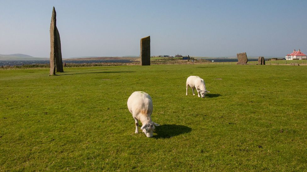 The 4,700-year-old Stones of Stenness are a favourite place for cattle to graze today (Credit: Amanda Ruggeri)