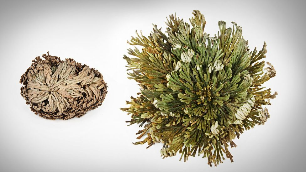 Resurrection plants come back to life within 24 hours - watch the video above to see how (Credit: SPL)