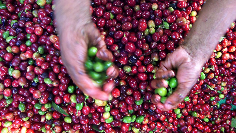 Coffee production may need to move to cooler climates (Credit: Getty Images)