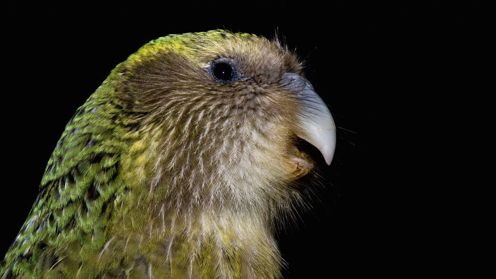 Rebuilding populations of New Zealand's threatened kakapo have struggled, partly because of the limited gene pool (Credit: Getty Images)