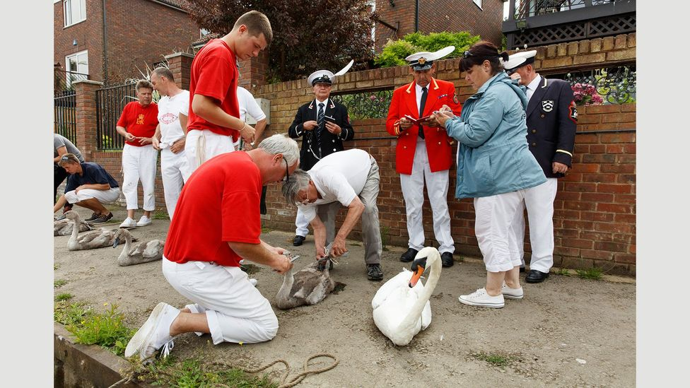 Catching swans from the Thames in the Swan Upping ceremony, 2015 (Credit: Martin Parr/Magnum Photos)