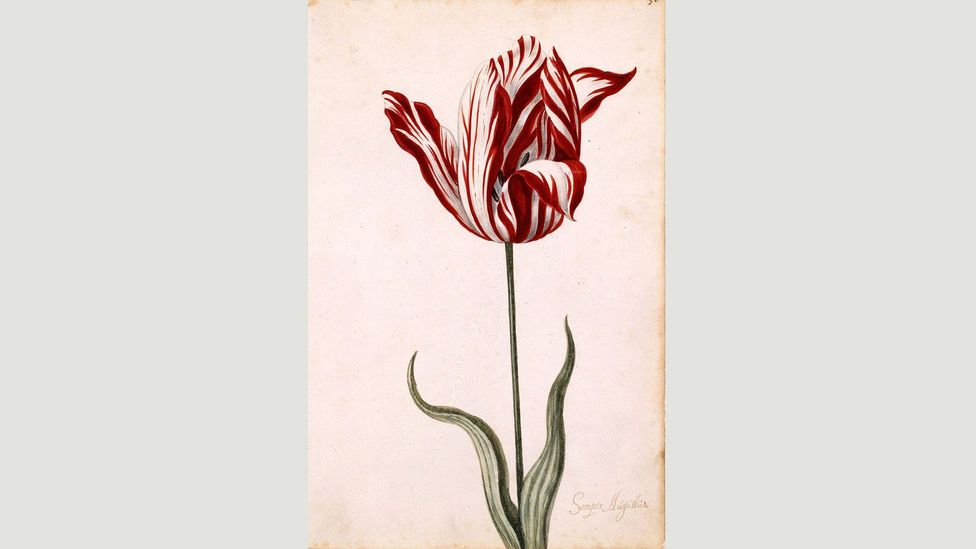 An anonymous watercolour from the 17th Century shows the Semper Augustus, the most prized and expensive variety in the Dutch tulip mania (Credit: Wikipedia)