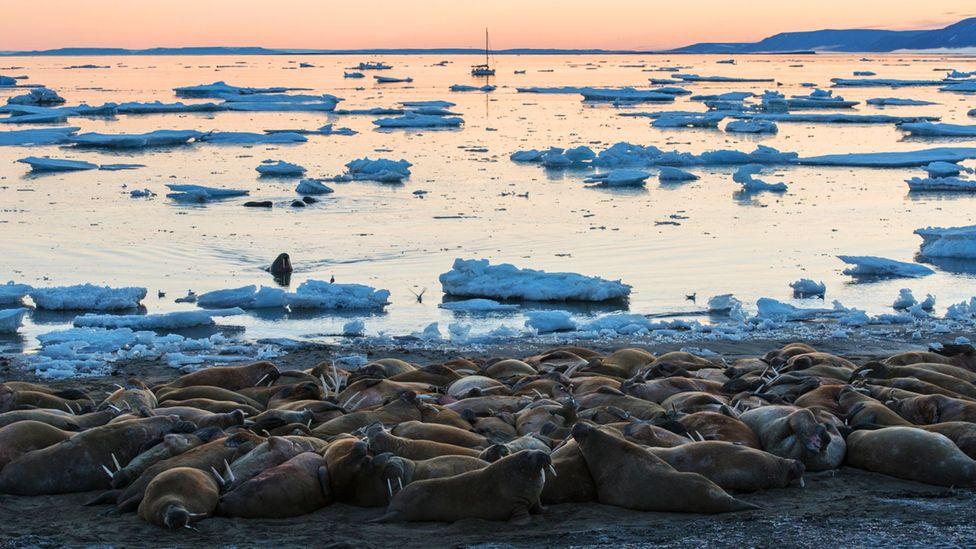 Walruses on Svalbard are on the rebound. (Credit: Daniel Hug)