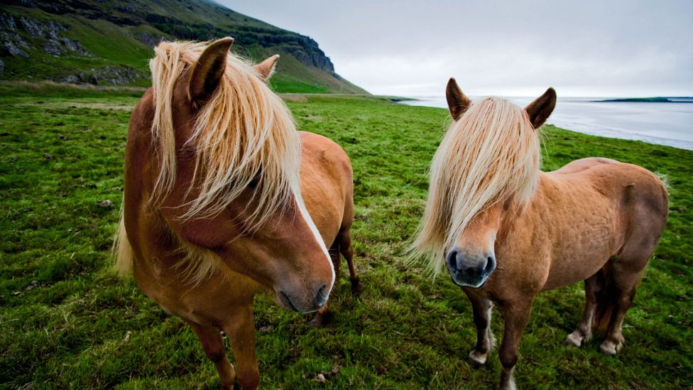 Icelandic ponies graze on Lon Valley (Credit: John and Tina Reid/Getty)