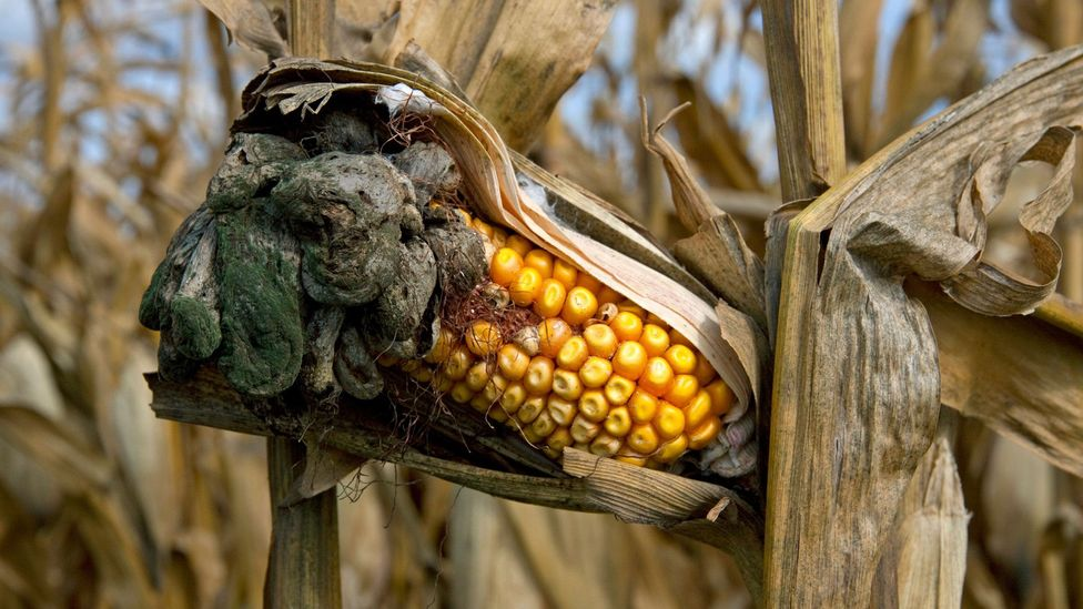 Huitlacoche, or corn smut, is a Mexican delicacy grown with fungus (Credit: Marvin Dembinsky Photo Associates/Alamy)