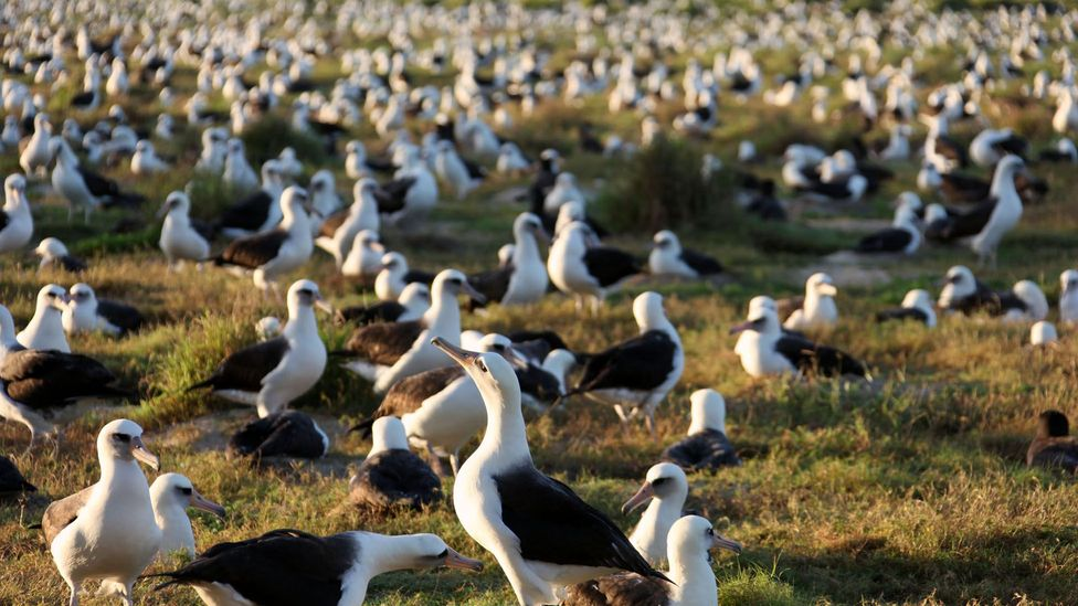 Millions of albatrosses nest in the atolls and islets of Papahānaumokuākea (Credit: USFWS - Pacific Region/flickr/CC BY 2.0)