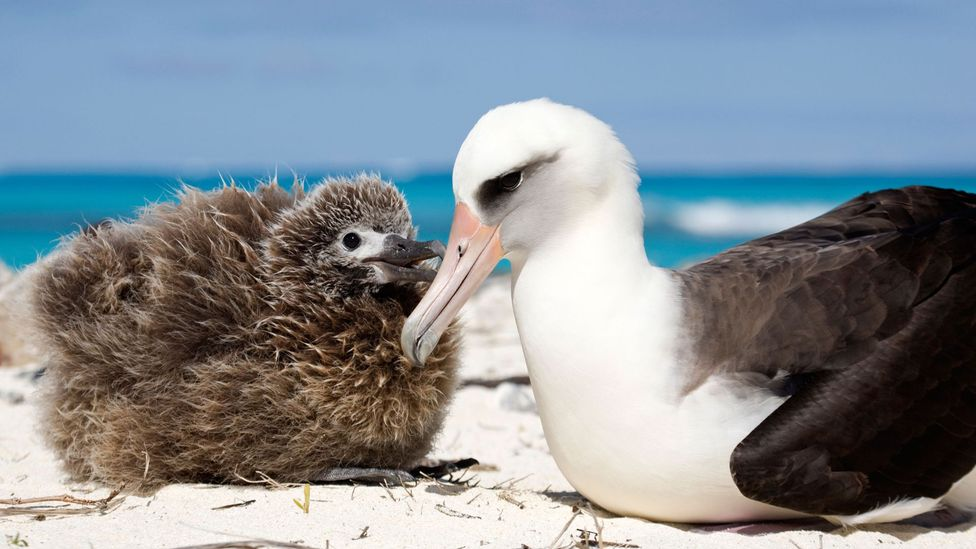 The feathers of albatrosses were prized by ancient Hawaiians (Credit: Rosanne Tackaberry/Alamy)