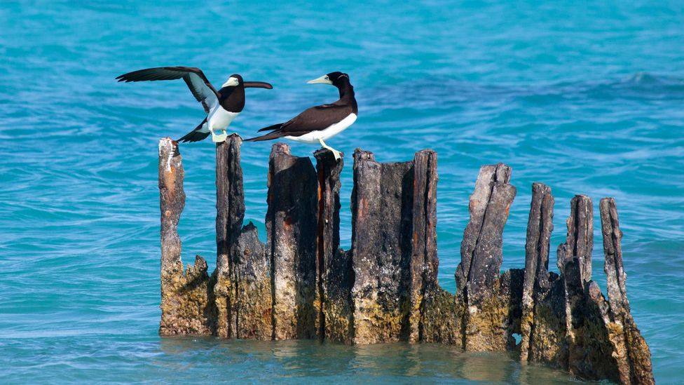 Brown Boobies perch in Papahanaumokuakea Marine National Monument (Credit: Rosanne Tackaberry/Alamy)