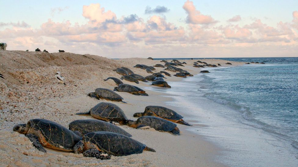 Green sea turtles come to the shores of Midway Atoll (Credit: USFWS Photo/Alamy)