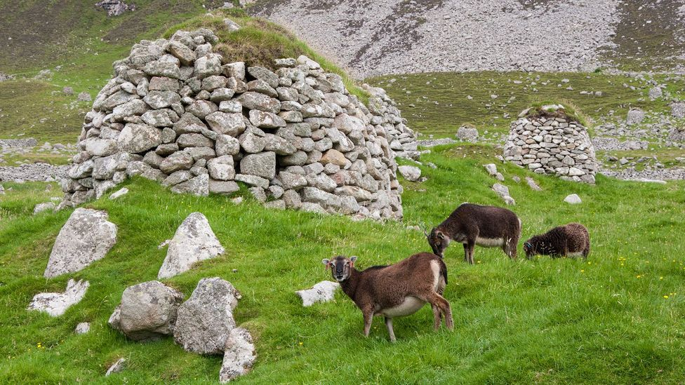 The small, nimble Soay sheep graze around some of Hirta's abandoned cleits (Credit: Amanda Ruggeri)