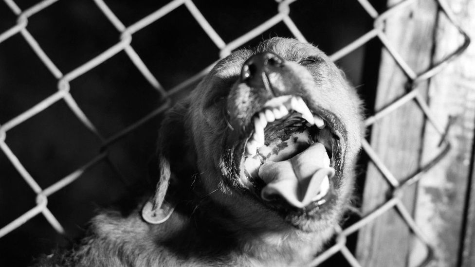 Bites from infected animals could turn a person rabid (Credit: Science Photo Library)