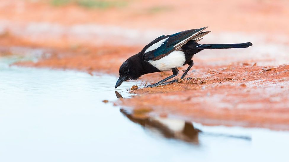 Magpies are known to be among some of the most cognitively advanced birds (Credit: Getty Images)