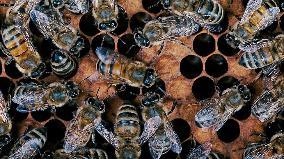 Bees perform a waggle dance to communicate information to the swarm (Credit: Getty Images)