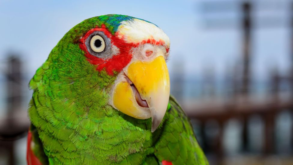 Bird or smoke alarm? Some species of parrot can confuse an AI with their remarkably good ability to imitate an alarm's beeps (Credit: Alamy)