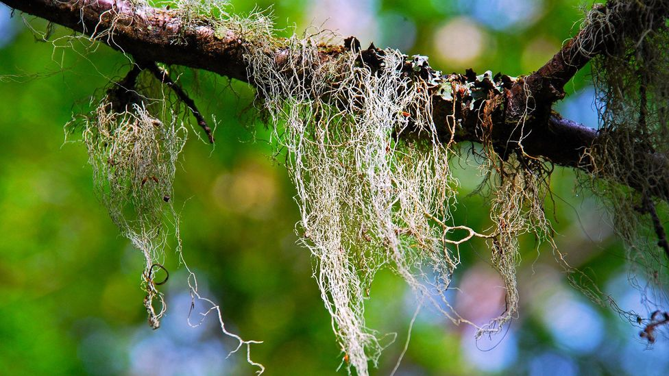 The rare Old Man's Beard grows extravagantly in the clean environment of Tierra del Fuego (Credit: Gideon Long)
