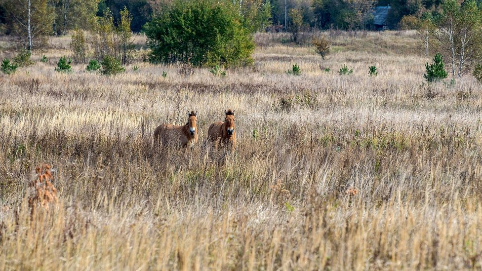 With no people, animals have returned to the Exclusion Zone, increasing its biodiversity (Credit: iStock)