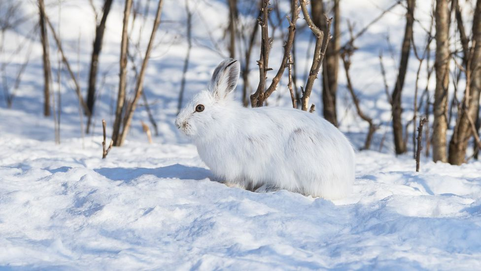 Rabbit meat contains such little fat that it can cause digestive problems (Credit: iStock)