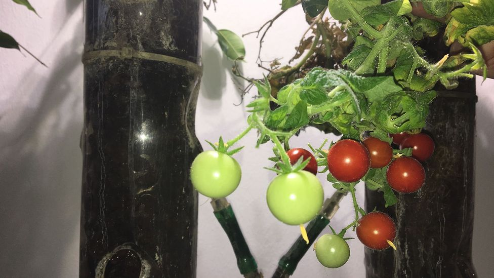 The tomatoes have a bitter taste but are perfectly edible (Credit: Richard Hollingham)