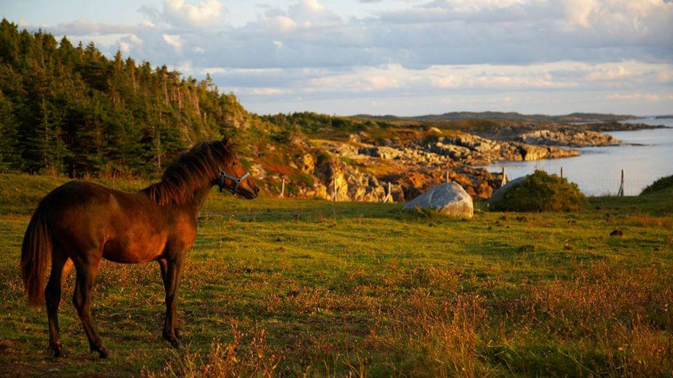 Newfoundland, pony