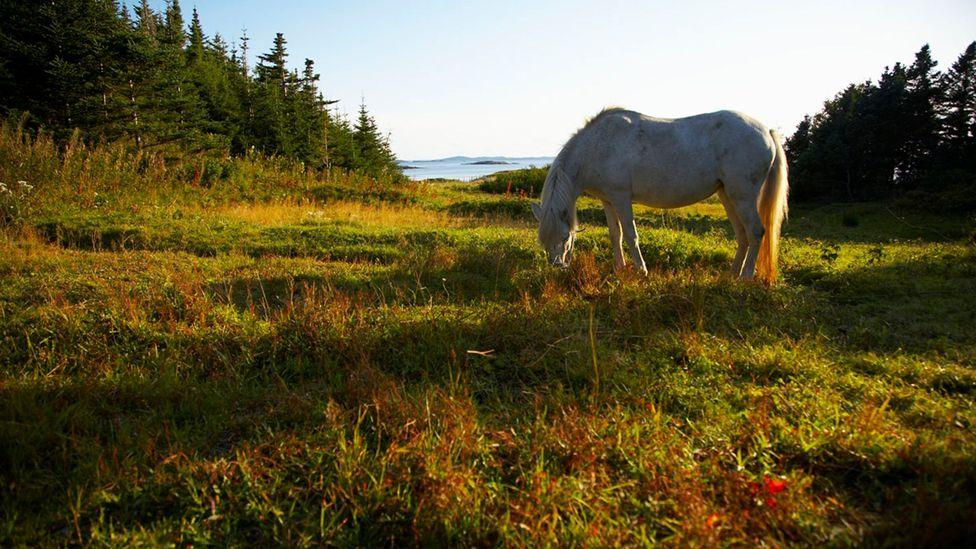 Newfoundland, pony, Change Islands