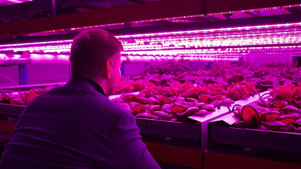Some companies are turning to vertical farming, which they say uses less water and grows crops faster than outdoor farms or greenhouses (Credit: Urban Crops)