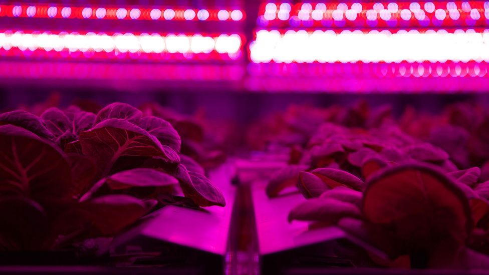 Stacks and stacks of vegetables and herbs are grown under UV lights, with individual stacks fitting in spaces just 30 sq m (Credit: Urban Crops)