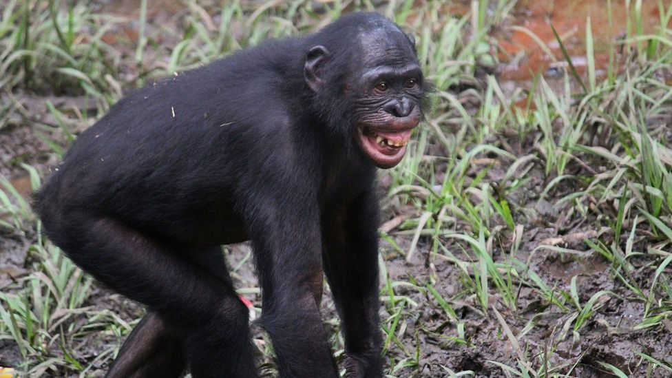 In chimpanzees and dogs, smiling is an expression of fear (Credit: ZannaClay/ Lola ya Bonobo Sanctuary)