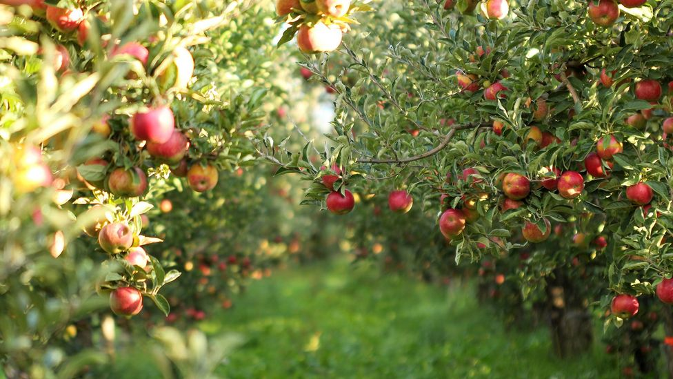 How Farmers Put Apples Into Suspended Animation Bbc Future